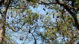 Des chauves-souries géantes ont trouvé refuge dans un bouquet d'arbres